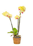 Yellow branch orchid  flowers, Orchidaceae, Phalaenopsis known as the Moth Orchid, abbreviated Phal. White background Royalty Free Stock Images