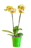 Yellow branch orchid  flowers, vase, flowerpot, Orchidaceae, Phalaenopsis known as the Moth Orchid, abbreviated Phal. Royalty Free Stock Photo