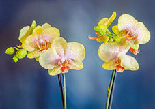 Yellow branch orchid  flowers, vase, flowerpot, Orchidaceae, Phalaenopsis known as the Moth Orchid, abbreviated Phal. Stock Image