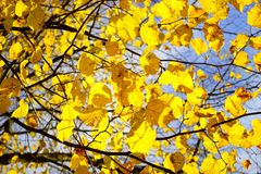 Yellow, Branch, Tree, Leaf Royalty Free Stock Photo