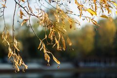 Yellow branches of Linden tree in autumn. A deciduous tree with heart-shaped dentate leaves and fragrant honey-color royalty free stock image