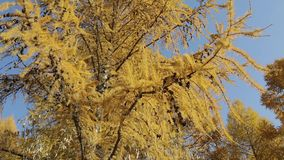 Yellow branches of Siberian larch stock footage