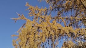 Yellow branches of Siberian larch. In the autumn forest stock footage