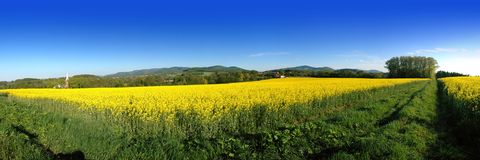 Yellow brassica rapa field. Panoramic view of blooming yellow brassica rapa mustard field with blue sky background Royalty Free Stock Photography