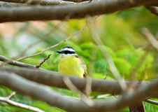 Yellow brazilian bird (Pitangus sulphuratus) on a tree. Yellow brazilian bird seated on a tree Royalty Free Stock Images