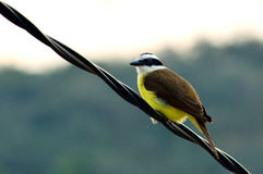 Yellow brazilian bird on a wire. Yellow brazilian bird Pitangus sulphuratus on a wire Stock Photo