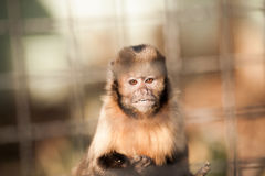Yellow breast Capuchin monkey Stock Image
