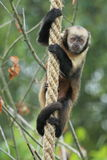 Yellow-breasted capuchin Stock Photos