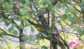 Yellow-breasted Chat Icteria virens in Dense Brush. In Mexico Royalty Free Stock Images