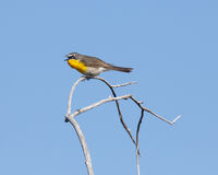 Yellow-breasted Chat. A side view of a Yellow-breasted Chat singing on a dry branch Stock Photo