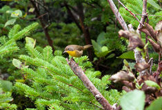 Yellow Breated Chat Left Royalty Free Stock Photos