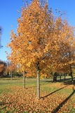 Yellow bright autumn park Stock Photo