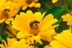Yellow bright flower Royalty Free Stock Photo