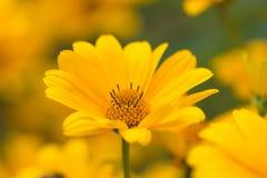 Yellow bright flower Stock Image