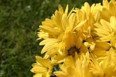 Yellow bright flowers details Royalty Free Stock Photo
