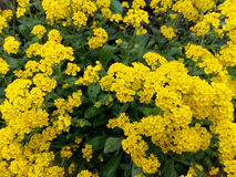 Yellow bright flowers among green leaves in the spring bush.  Royalty Free Stock Photography