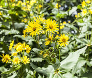 Yellow bright flowers. This image shows some yellow flowers in the sunshine. It was taken at the Kew Gardens in London Stock Photography