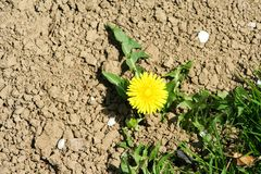 Yellow bright flowers, leaves and bud dandelions on plant of spring nature. Closeup of yellow spring flowers on the ground stock photography