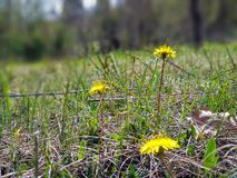 Yellow bright grass plant flower growing on ground stock photo