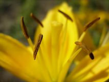 Yellow lily. Yellow bright pixie in sunny light Royalty Free Stock Photos