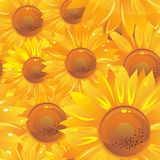 Yellow bright sunflowers Stock Photos