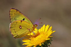 Yellow brimstone butterfly Royalty Free Stock Image
