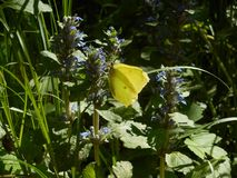 Yellow brimstone butterfly in the mountains on a blue blossom of a bungleweed flower stock photos