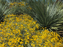 Yellow Brittlebush Stock Photo