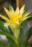 Yellow bromelia. Or guzmania in pot Stock Image