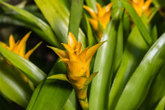 Yellow bromeliad flowers and leaves Stock Photos