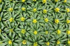 Yellow bromeliad guzmania magnifica flower Royalty Free Stock Photos