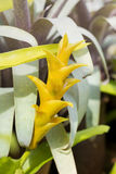 Yellow Bromeliads flower close up Stock Photography
