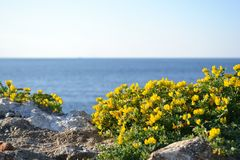 Yellow broom. On sea rock. Blurred sea on background stock images