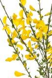 Yellow broom Stock Image