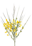 Yellow broom Royalty Free Stock Photo