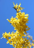 Yellow broom flower branch in springtime with blue sky Royalty Free Stock Photography