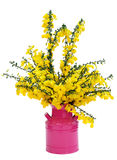 Yellow broom flowers in magenta can Royalty Free Stock Photography