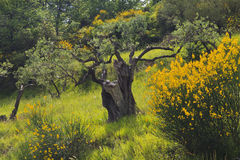 Yellow Broom with old Olive Trees Royalty Free Stock Photos