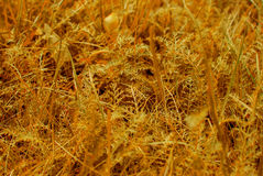 Yellow broun grass macro close up Royalty Free Stock Photos