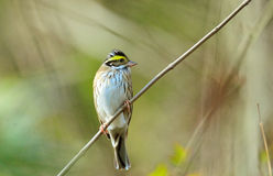 Yellow-browed bunting beside bushes stock photo