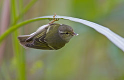 Yellow-browed Warbler birds. Is foraging Stock Photography
