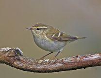 Yellow browed Warbler. Taken on St Agnes,Isles  of Scilly Royalty Free Stock Photos