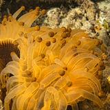 Yellow and brown anemone tentacles detail Stock Photo
