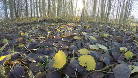 Yellow and brown aspen tree leaves by the forest, time lapse 4K stock footage