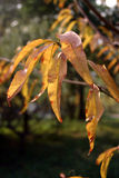 Yellow and Brown Autumn Leaves. In the sunshine Royalty Free Stock Photo