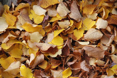 Yellow and brown autumn leaves Royalty Free Stock Image