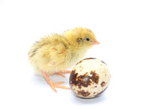 Yellow and brown baby quail Stock Photos