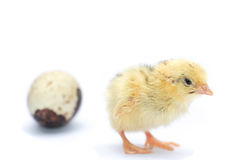Yellow and brown baby quail Royalty Free Stock Images