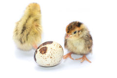 Yellow and brown baby quail on Stock Images