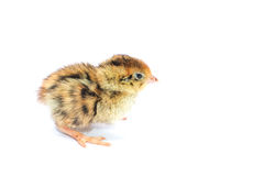 Yellow and brown baby quail Royalty Free Stock Image